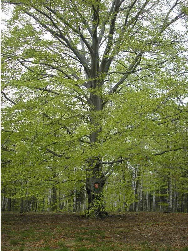 Buk v Bitinském lese, obrázek se otevře v novém okně