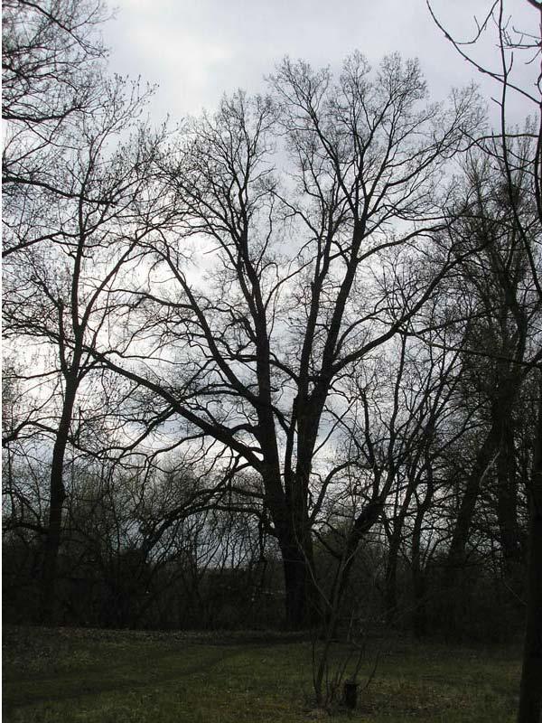 Dub letní v Lužeradech, obrázek se otevře v novém okně