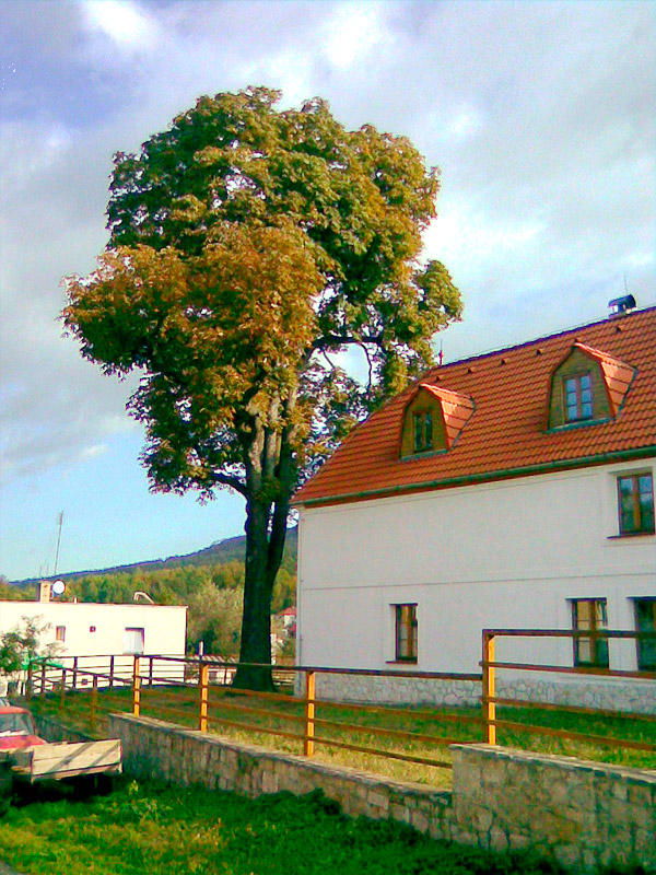 Jírovec u Kleinova statku, obrázek se otevře v novém okně