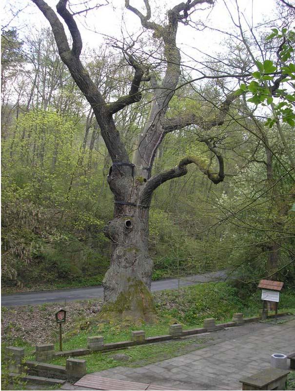 Oldřichův dub, obrázek se otevře v novém okně