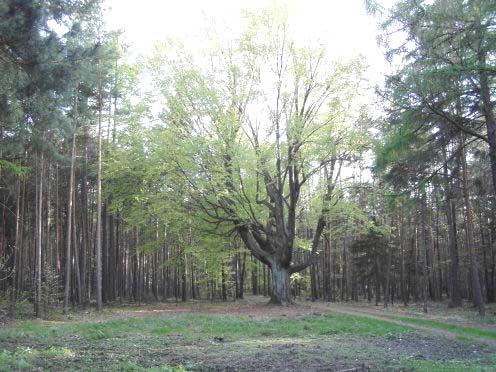 Buk lesní v Budlíně, obrázek se otevře v novém okně